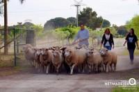 Recolher das ovelhas