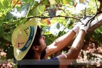 Apanha da uva - Ilha da Madeira